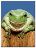 Grenouille souriante
