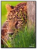 Jaguar hiding in the grass