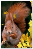 écureuil doux