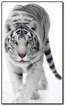 पांढरा वाघ