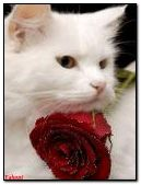 White cat and rose red