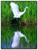 Bird Reflet