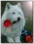 white wolf with rose.