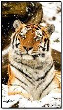 老虎在雪地里