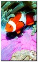 Клоун Риба