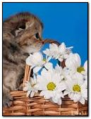 Cute kitten with chamomile
