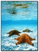sea ''stars''