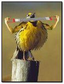 Body Builder Bird