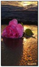 Rose und Sonnenuntergang
