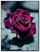 Beautiful velvet rose
