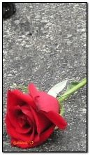 गुलाब आणि पाण्याचे थेंब HDi100