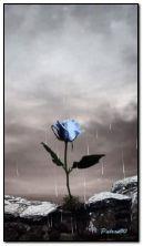 deszcz i róża HDO406