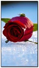rose et l'eau HDO413