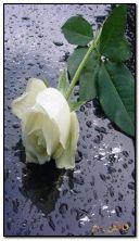 गुलाब आणि पाण्याचे थेंब HDi96