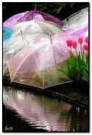Umbrellas and tulips