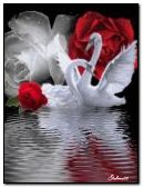 Swan love anim