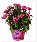 어머니 날 꽃 냄비
