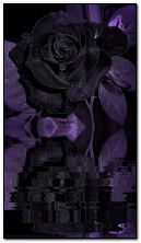 Rosa nera