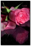 Pink rose in rain
