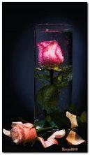 Rose em um copo