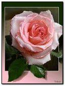 Anim Pink Rose