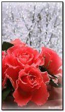 mawar dan salji