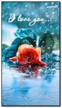 Yağmurda gül