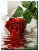 Hồng đỏ trong nước