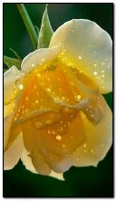 Yellow rose in drops dew