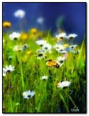 Butterflies and chamomile