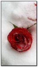 Роза в снегу