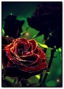 meravigliosa rosa
