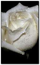 Ros putih