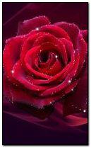 @--लाल गुलाब--@