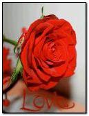 लाल गुलाब 4