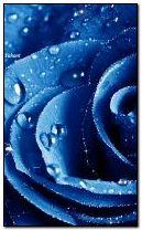 নীল গোলাপ