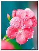 Sparkling drops of dew
