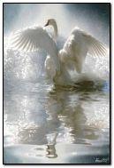 Cisne Branco