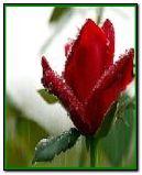 rainy rose