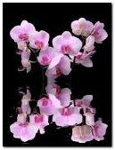 Pink Flowers reflet