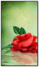 Rose rouge dans l'eau