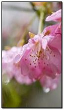 Sakura in the rain 360-640