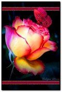 गुलाबी तितली के साथ गुलाब