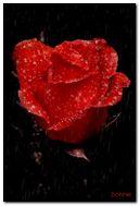 Rose under the rain