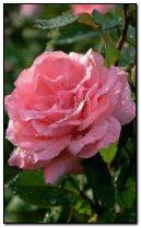 ดอกกุหลาบสีชมพู.
