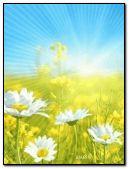 summer chamomile