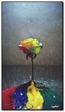 rose coloré sous la pluie
