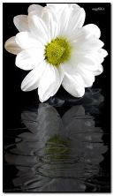 सफ़ेद फूल