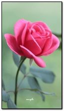 Różowa róża