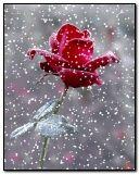وردة حمراء في الثلج